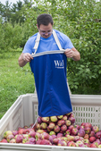 Man dumps apples he just picked into the large apple box