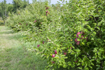 Apple orchard with Cortland apples on the trees
