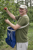 Man picking apples in an apple orchard