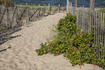 Rosa rugosa growing at Ryder Beach in Truro, MA