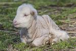 Newborn merino lamb