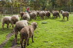 Merino sheep going out on pasture