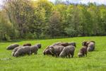 Merino sheep grazing on pasture