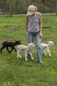 Three bottle fed lambs following their