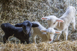 Three new born bottle fed lambs