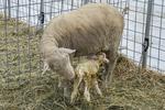 A newborn lamb less than one hour old feeding