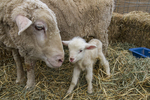 A newborn lamb with her mom