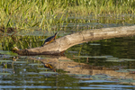 Painted turtle on a log - Tully River #1