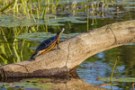 Painted turtle on a log - Tully River #2
