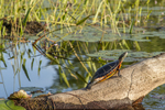 Painted turtle on a log - Tully River #4