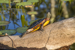 Painted turtle on a log - Tully River #6