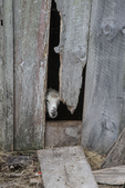 Sheep poking its head through an opening in the barn