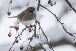 Junco sitting in a crab apple tree
