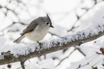 Titmouse in a snow covered tree