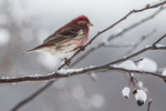 House Finch on a snow covered branch