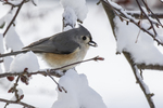 Titmouse on a snow covered branch