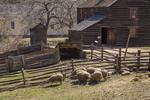 Sheep grazing in the springtime at Old Sturbridge Village