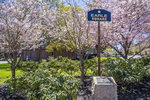 Flowering trees in bloom at WPI in Worcester, MA