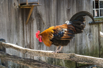 Rooster at Old Sturbridge Village, Sturbridge, MA