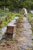 Woman digging potatoes in a garden