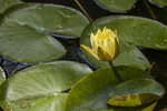 Yellow pond lily at Augustus Saint-Gaudens, Cornish, New Hampshire