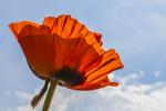 Red poppy against the blue sky