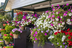 Spring flowers for sale at a MA