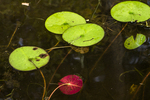 Water lily, Tully River, Royalston, MA