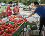 Sorting and washing tomatoes at a farm