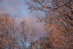 Snow covered trees at sunrise