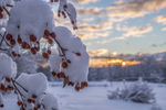 Snow covered crab apple tree