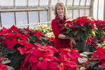 Woman arranging poinsettias in a greenhouse