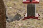 "Eastern gray squirrel trying to get seeds from a ""squirrel proof"" birdfeeder"