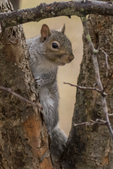 Eastern gray squirrel framed by the tree branches