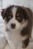 A 10 week old Australian shepherd puppy