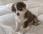 10 week old Australian shepherd puppy sitting on a blanket