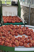 Tomatoes just coming out of the washer and ready to be sorted
