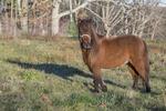 A mini horse in the pasture at a farm in Phillipston, MA
