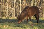 A mini horse grazing in the pasture at a farm in Phillipston, MA