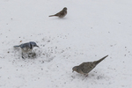 Mourning dove and a blue jay looking for seeds