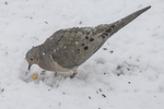 Mourning dove eating seeds on a snowy day