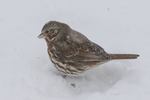 Fox sparrow on a winter day