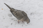 Mourning dove searching for seeds