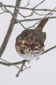 Fox sparrow sitting on a tree branch