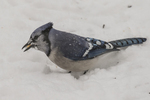 Blue Jay -  Cyanocitta cristata - found a seed in the snow