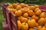 A wagon load of freshly picked pumpkins