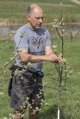 Volunteer removing buds from newly planted apple trees so the trees will be stronger