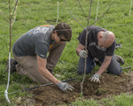 Two men planting an apple tree