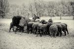 Llama and sheep feeding during a winter storm