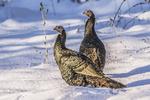 two eastern wild turkeys in the snow